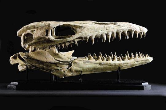 Crâne de Mosasaure Platecarpus