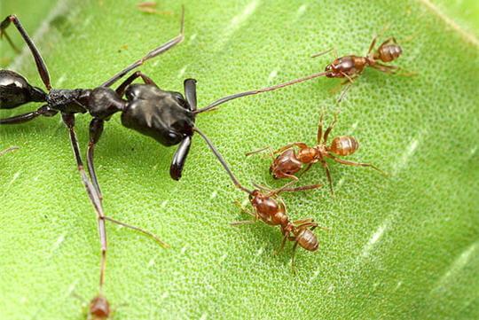 Combat fourmis