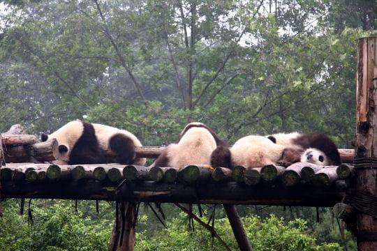Le Sichuan, principal foyer des pandas