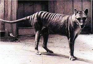 photographie du tigre de tasmanie.