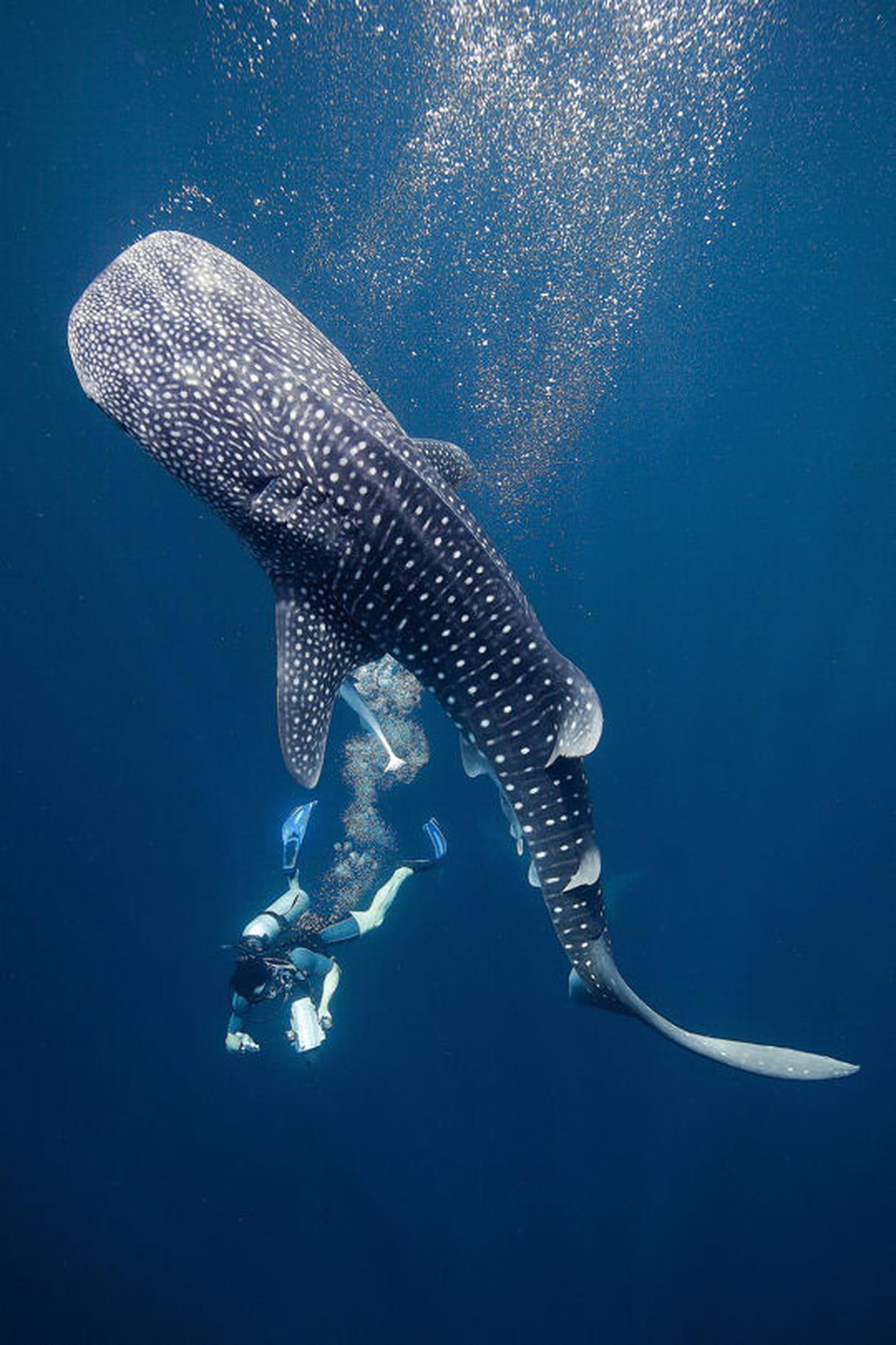 Requin baleine et plongeur - Dessin requin baleine ...