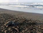 La vie secrète d'un nid de tortues marines