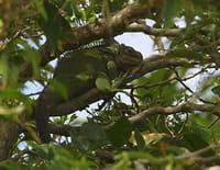 Curieuse de nature : Sur les traces de l'iguane en Guadeloupe