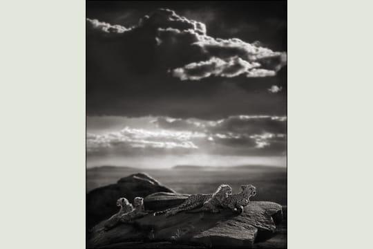 Guépards et leurs petits allongés sur un rocher