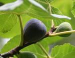 La figue, fruit du paradis