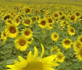 certains apiculteurs accusent l'utilisation des insecticides dans les cultures