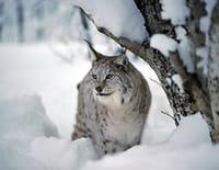 Nordic Wild : Les derniers survivants