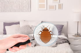 Punaise de lit: taille, traitement, que faire en cas d'invasion et de piqûre?