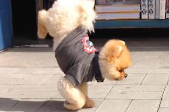 Jiff, le chien le plus mignon et talentueux du moment