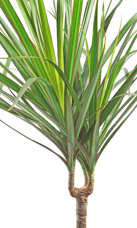 Le dracaena marginata le v g tal anti tabac - Plante interieur anti humidite ...
