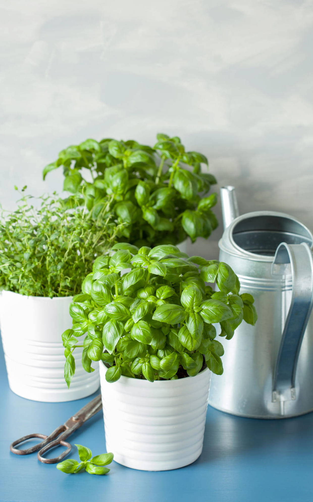 Comment Bien Faire Pousser Du Basilic conseils pour faire pousser et entretenir des plantes
