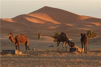 un chameau de plus pour ne pas faire de jaloux.