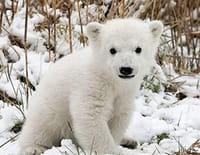 Nous, les bébés animaux : Les ours polaires