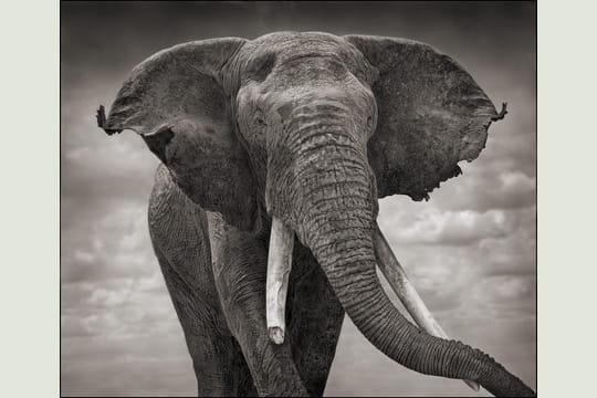 Eléphant aux oreilles déchirées