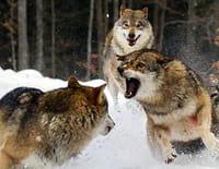 Animal Fight Club : Mort subite