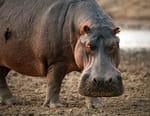 Lions et hippopotames