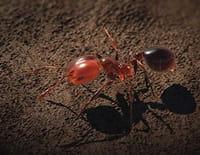 Conquérants : La fourmi de feu