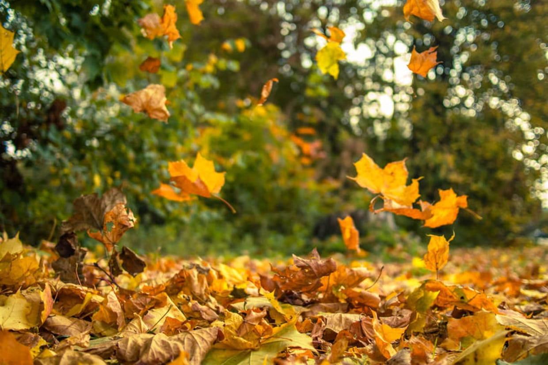 Equinoxe d 39 automne les secrets de la d coloration des - Image feuille automne ...