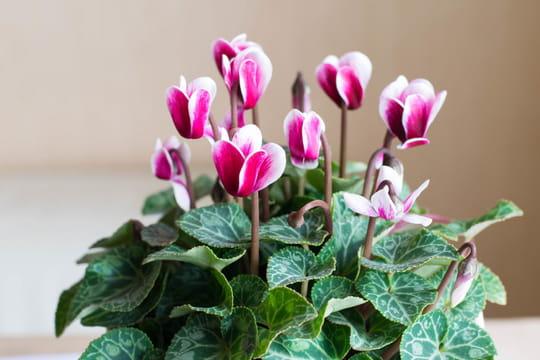 Cyclamen: entretien et arrosage de la fleur