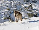 Loups solitaires en toute liberté