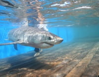 Shark Men : Alerte à Malibu