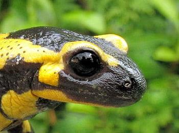 La sortie de la salamandre