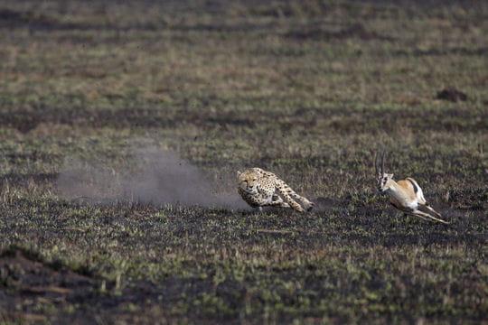 La course du guépard