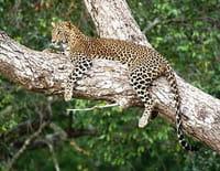 Sri Lanka, île des extrêmes : La reine du parc de Yala