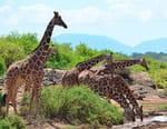 Girafes, les dernières géantes