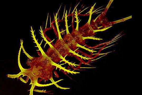 Un copépode qui a l'ivresse des profondeurs