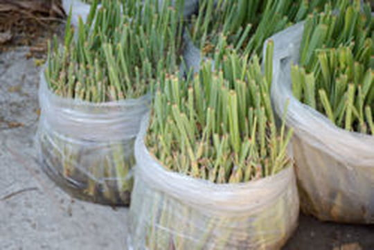 Citronnelle cette plante est tr s utile contre les for Plante utile