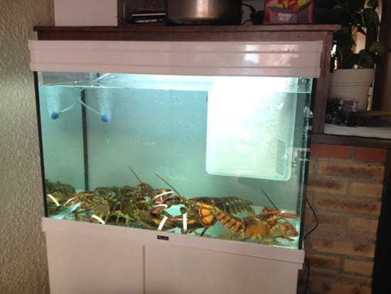 Restaurant : Le Patio  - Le vivier du Patio homard et langouste -