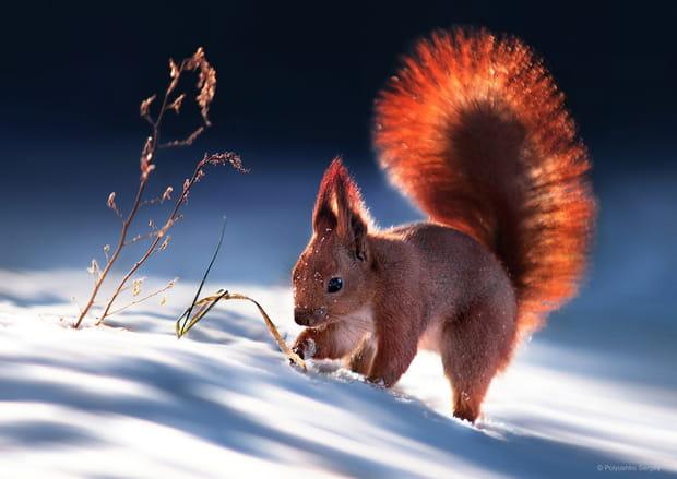 Ecureuil à la recherche des noix