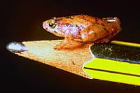 micro grenouille