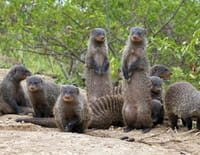 Bande de mangoustes : Un répit de courte durée