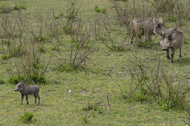 Un petit phacochère à la Réserve africaine de Sigean