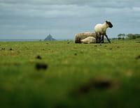 Paysans du monde : Mont Saint-Michel : agneaux pré-salé