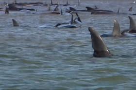 VIDEO. Tasmanie : les images du sauvetage des dauphins coincés dans une baie