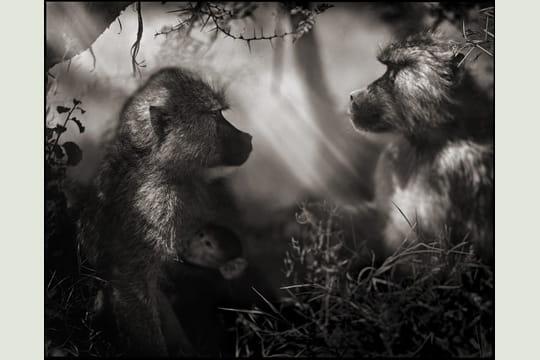 Babouins de profil