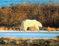 Les experts du monde sauvage : Attaque arctique