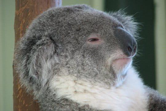 Un koala bien pensif