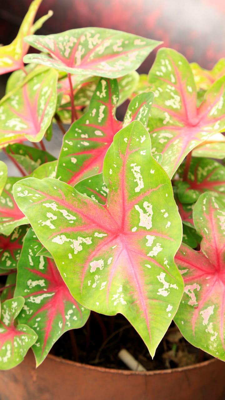 Plante Exterieur Qui Aime L Eau le syngonium