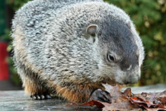 Le jour où une marmotte annonce le printemps (ou pas)