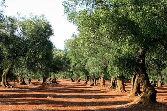Les Pouilles, la région des oliviers