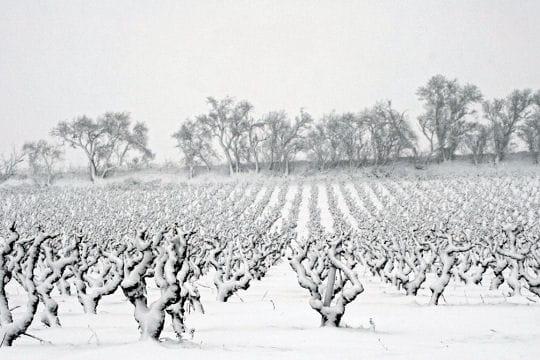 Vignes glacées