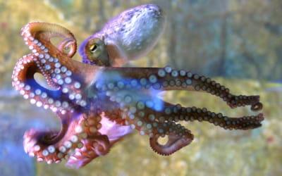 la pieuvre est le symbole des detroit red wings.