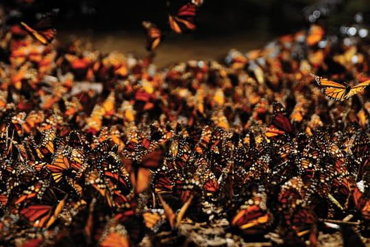 Grande migration du papillon monarque