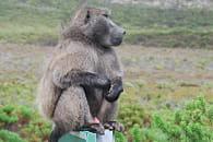 babouin genevieve lapoux
