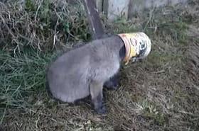 Il sauve un petit renardeau d'une boite de conserve