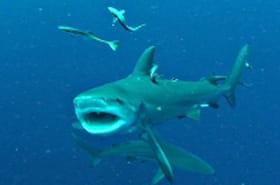Des requins menacés de mort à La Réunion